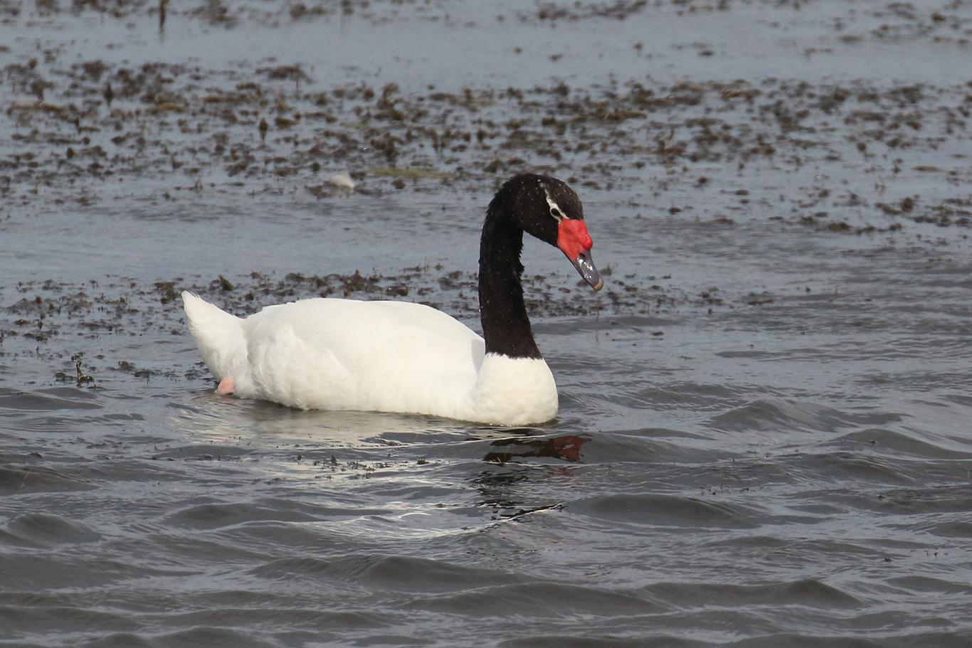 Black-necked Swan, Humedal Tres Puentes, Punta Arenas, Chile.