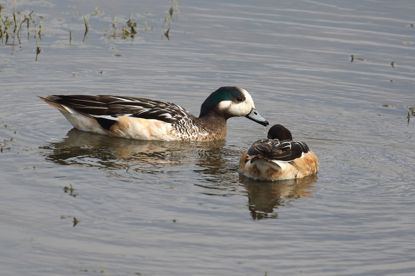 Chiloe Wigeon, Humedal Tres Puentes, Punta Arenas, Chile.