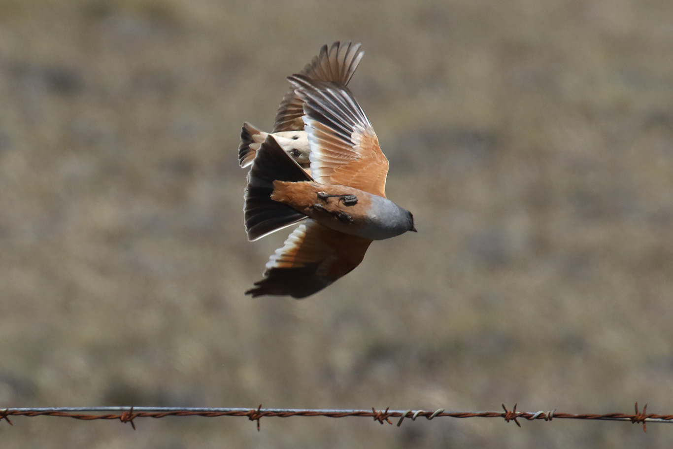 Chocolate-vented Tyrant, Y-455 track, Patagonian Steppe, Punta Arenas, Chile.
