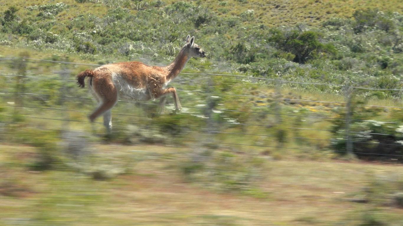 Guanaco, Patagonian Steppe, Punta Arenas, Chile.