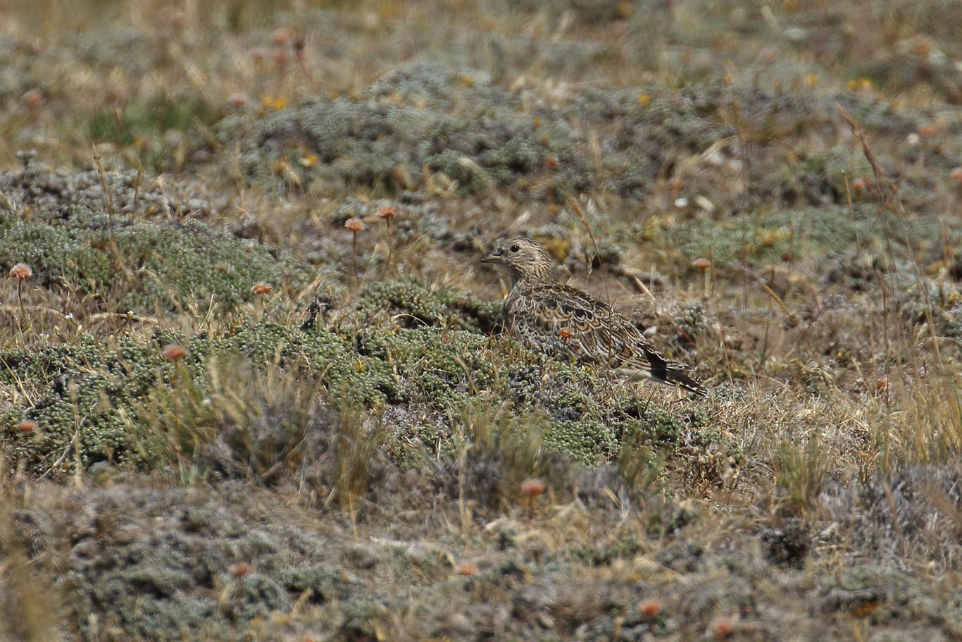 Least Seedsnipe, Y-455 track, Patagonian Steppe, Punta Arenas, Chile.