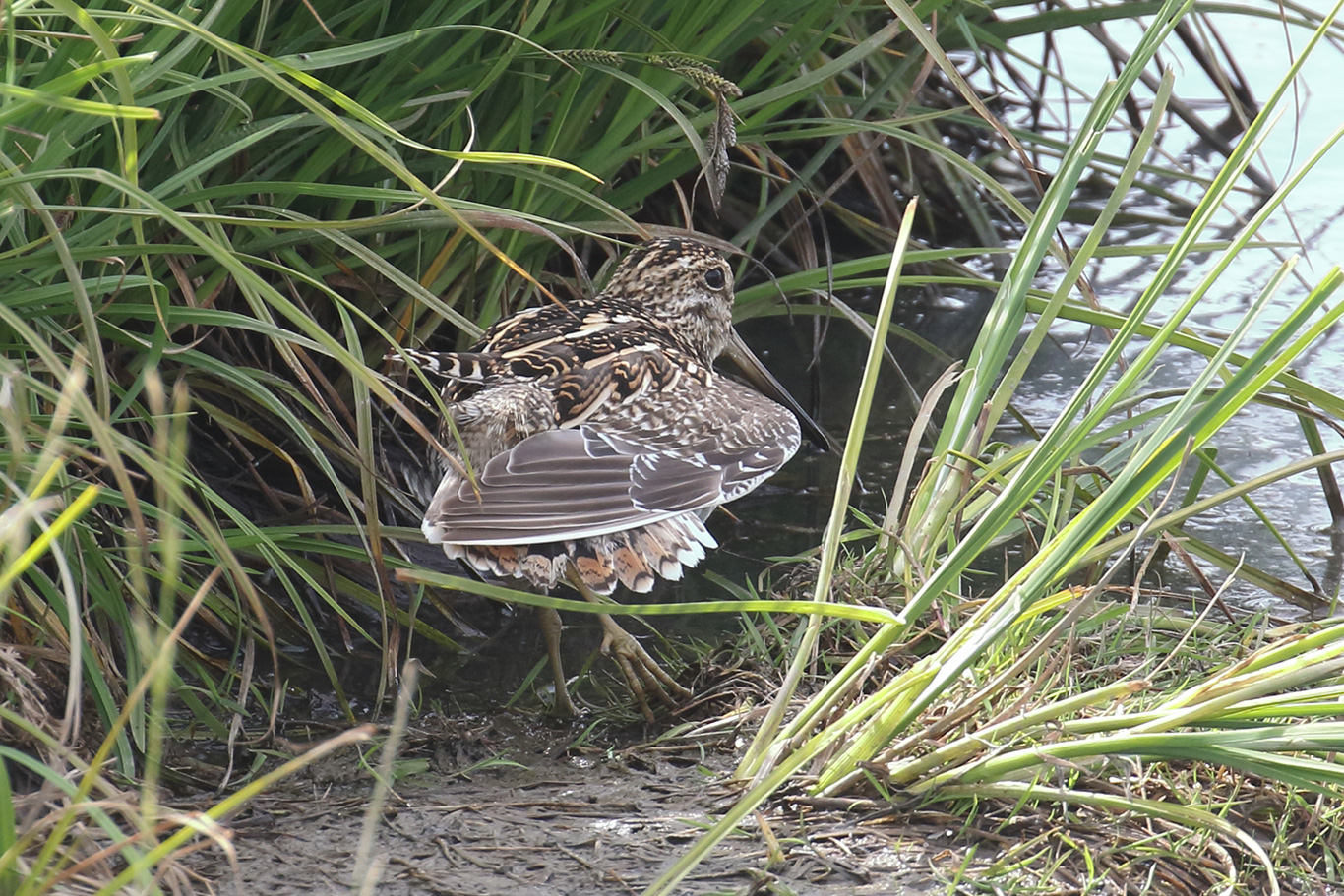 South American Snipe, Humedal Tres Puentes, Punta Arenas, Chile.