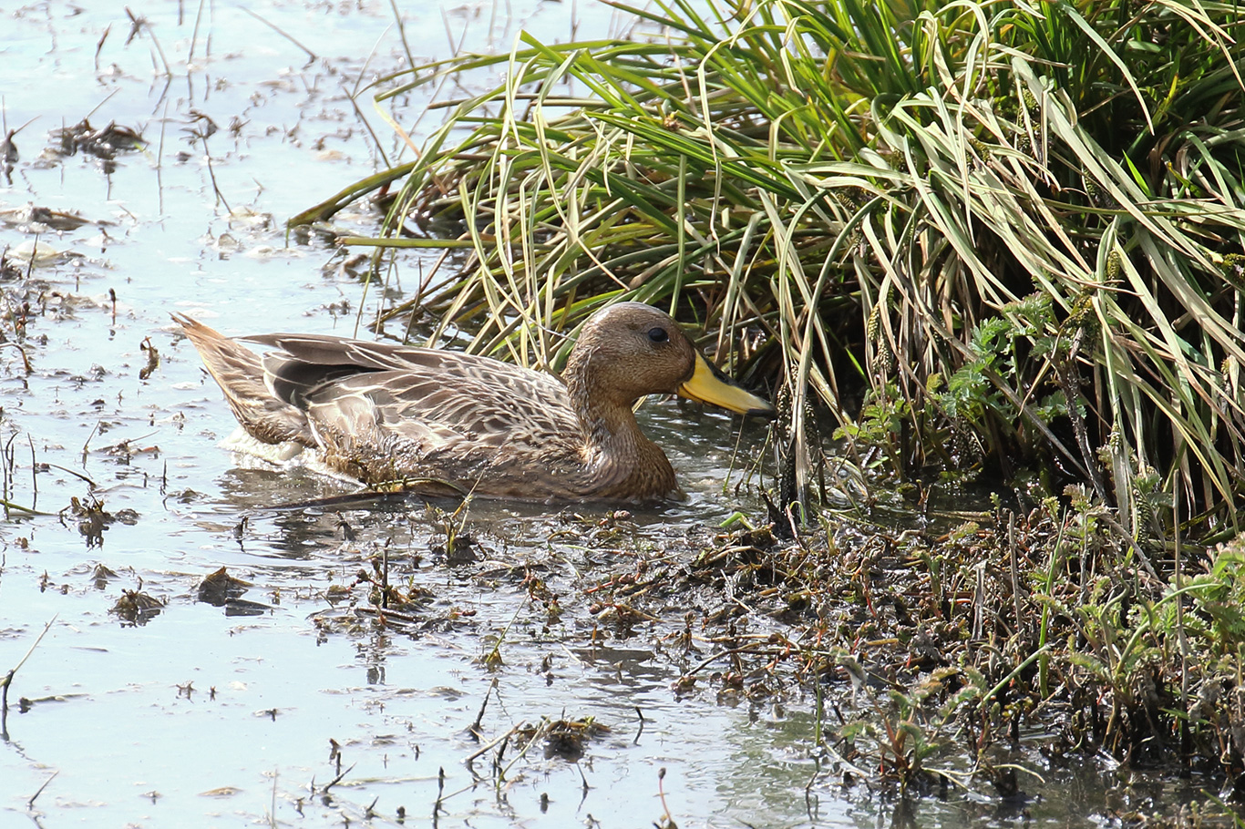 Yellow-billed Pintail, Humedal Tres Puentes, Punta Arenas, Chile.