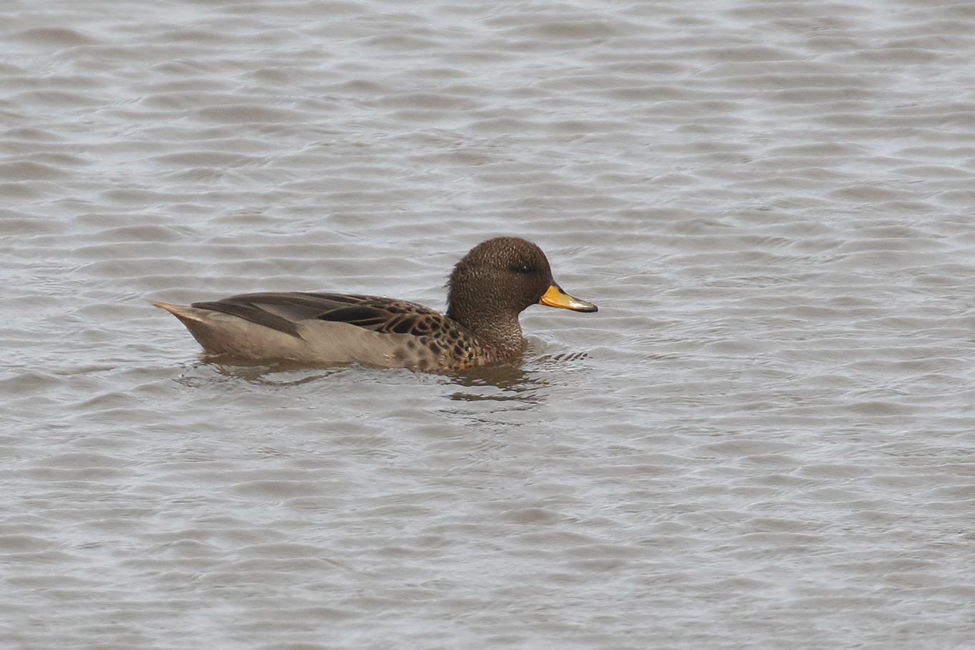 Yellow-billed Teal, Humedal Tres Puentes, Punta Arenas, Chile.