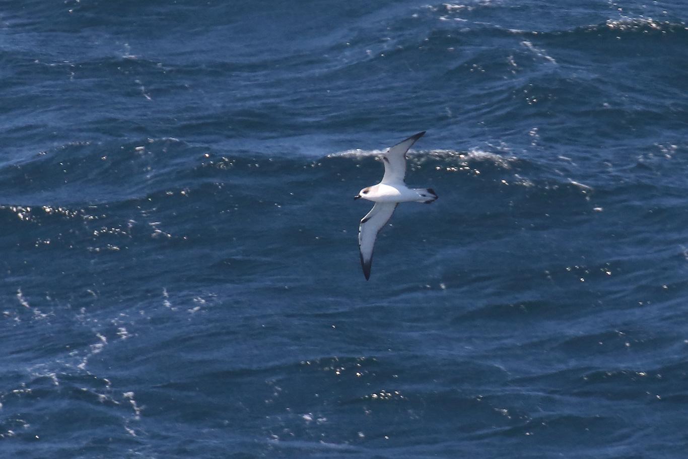 Juan Fernandez Petrel, South-east Pacific Ocean, Chile.