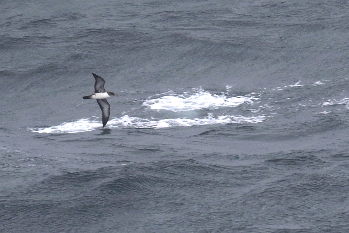 Pink-footed Shearwater, South-east Pacific Ocean, Chile.