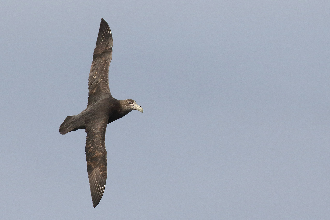 Southern Giant Petrel, South-east Pacific Ocean, Chile.