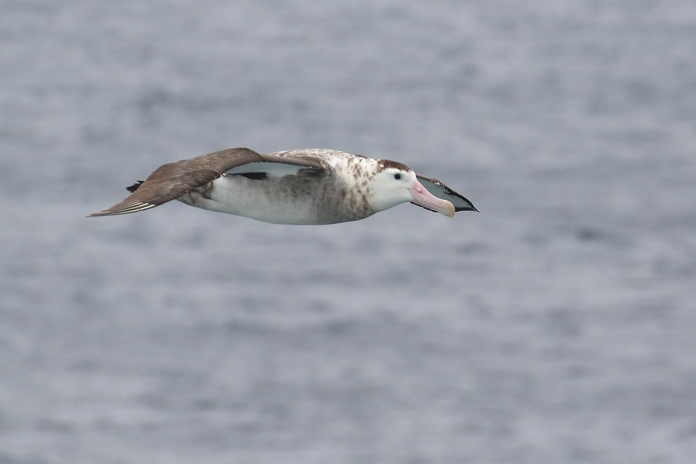 Wandering Albatross, South-east Pacific Ocean, Chile.