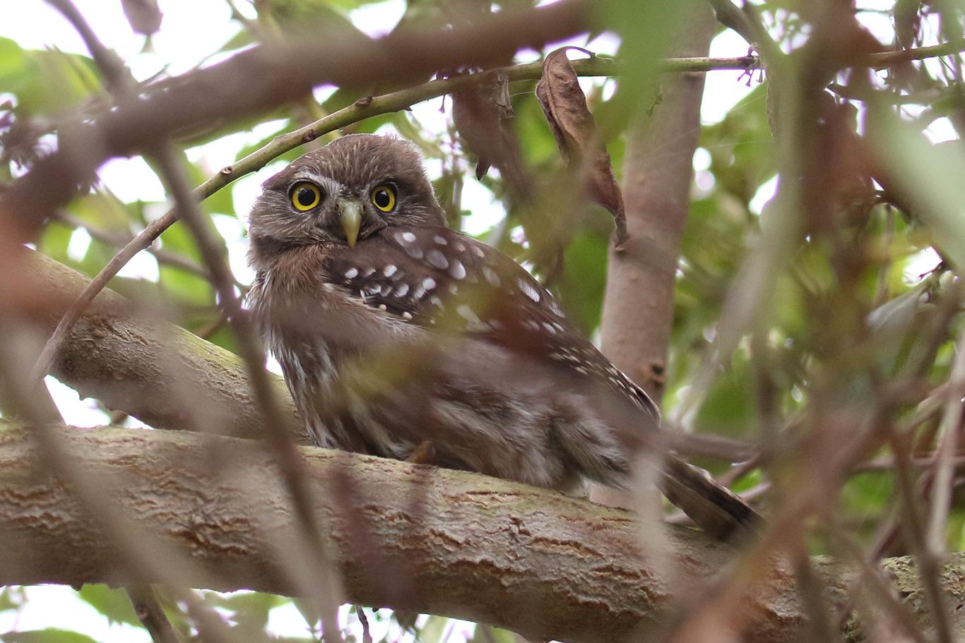 Austral Pygmy Owl, Parque Humedal Río Maípo, Chile.