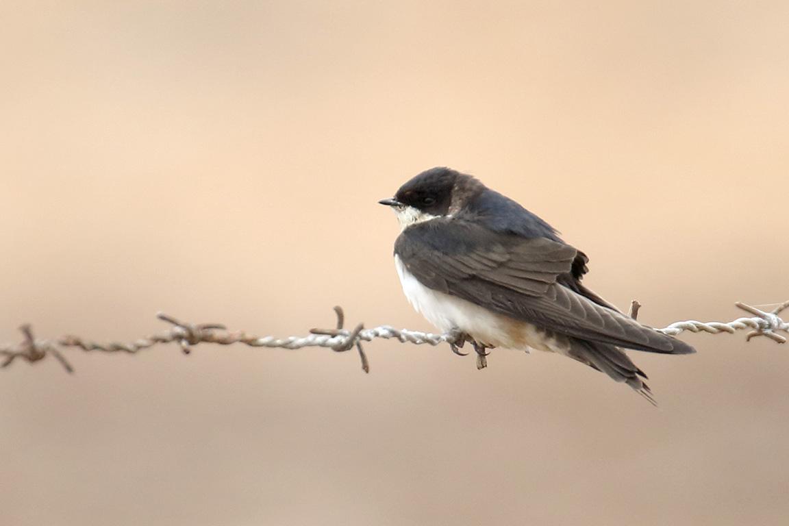 Chilean Swallow, Parque Humedal Río Maípo, Chile.