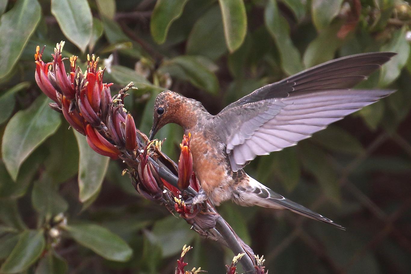 Giant Hummingbird, Parque Humedal Río Maípo, Chile.