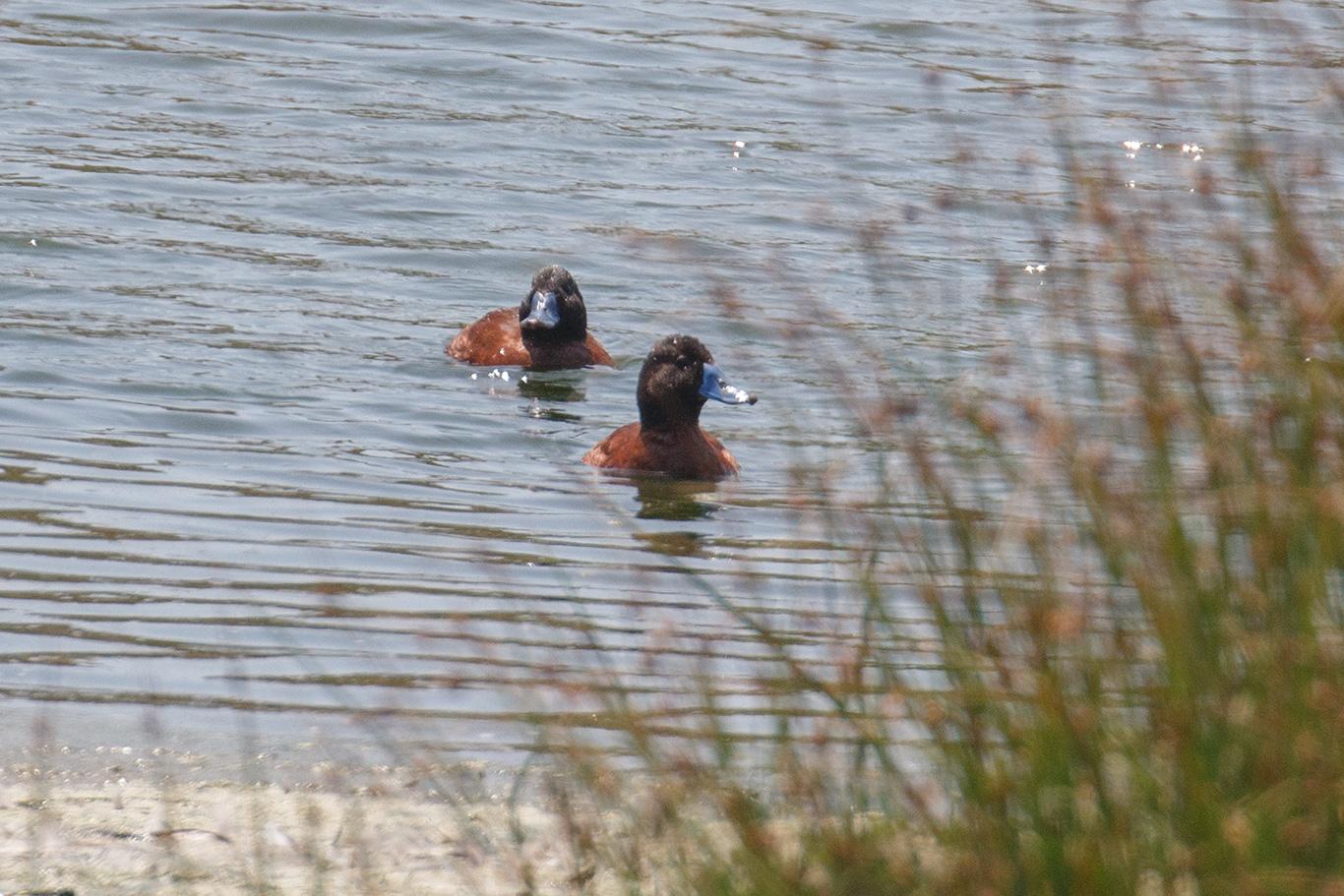 Lake Duck, Humedal De Cartagena, Chile.