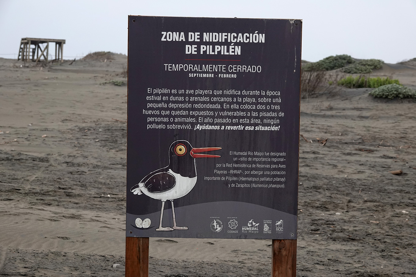 Breeding American Oystercatchers sign, Parque Humedal Río Maípo, Chile.