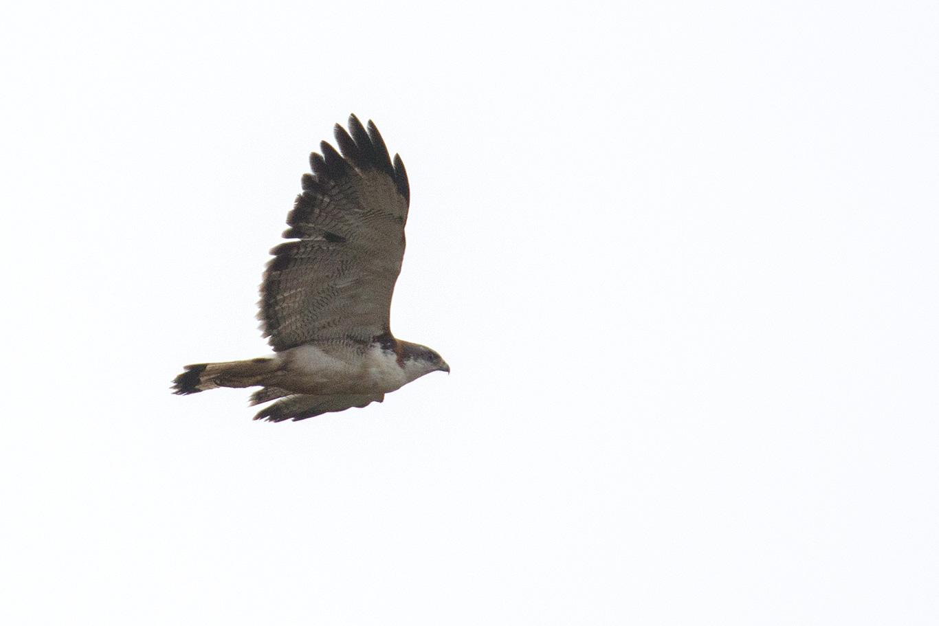 Variable Hawk, Parque Humedal Río Maípo, Chile.