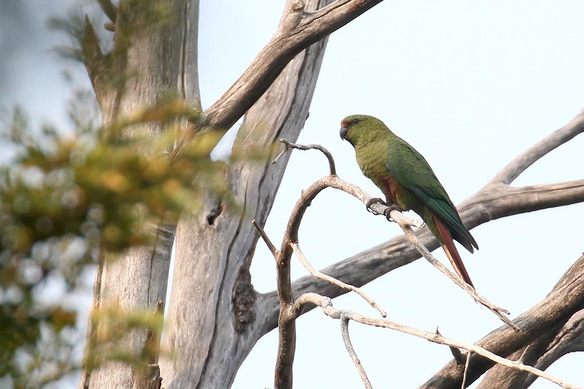 Austral Parakeet, Altos De Lircay, Chile.