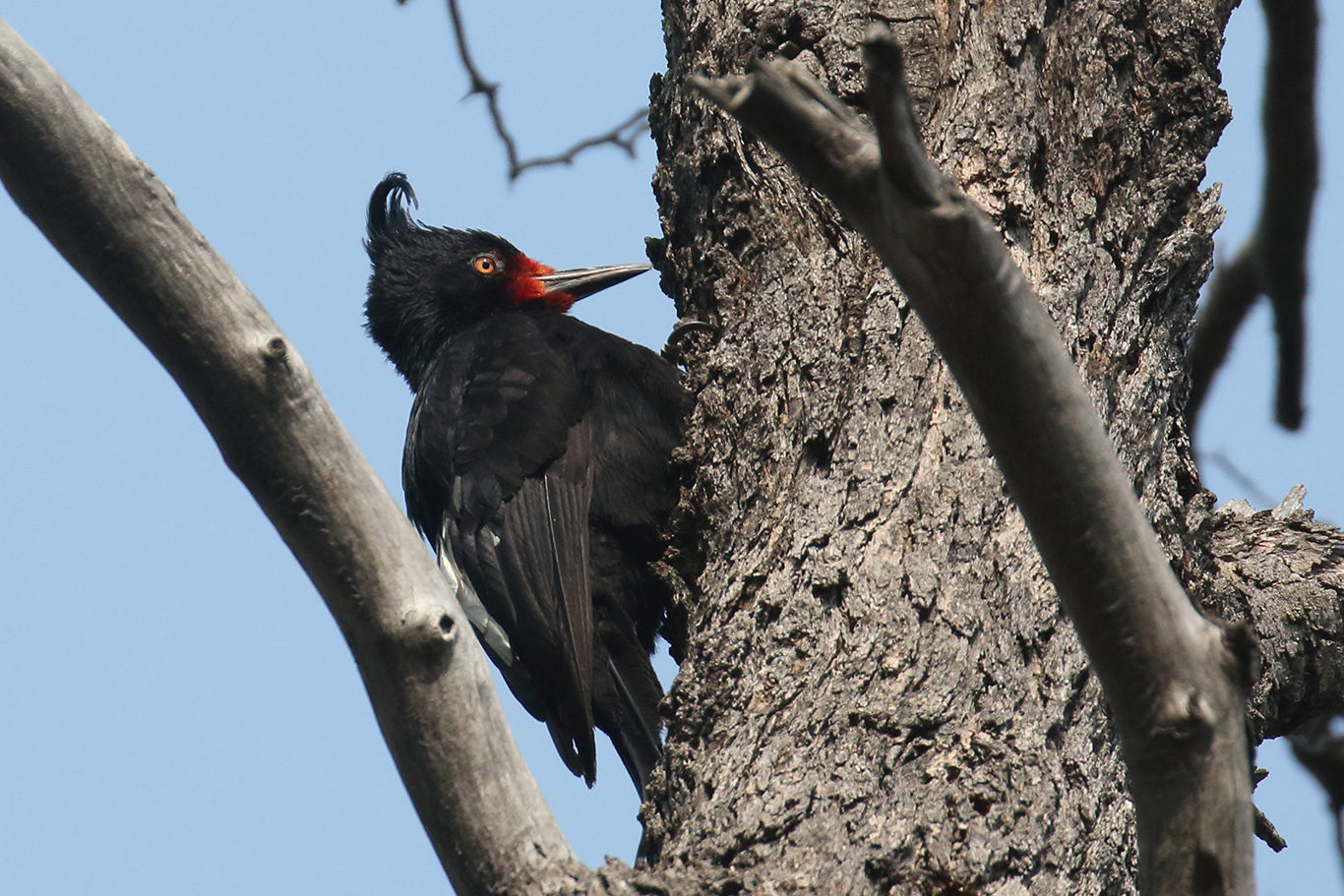 Magellanic Woodpecker, Altos De Lircay, Chile.