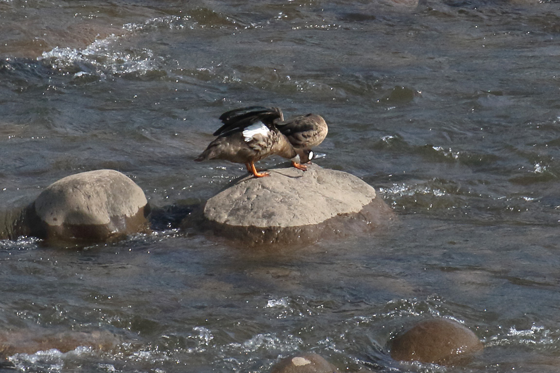 Spectacled Duck, Near Lago Colbún, Chile.