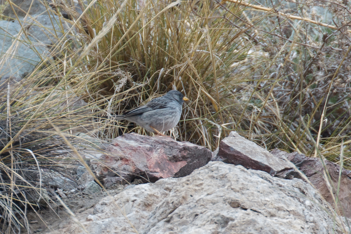 Band-tailed Sierra Finch, Camino Embalse El Yeso, Chile.