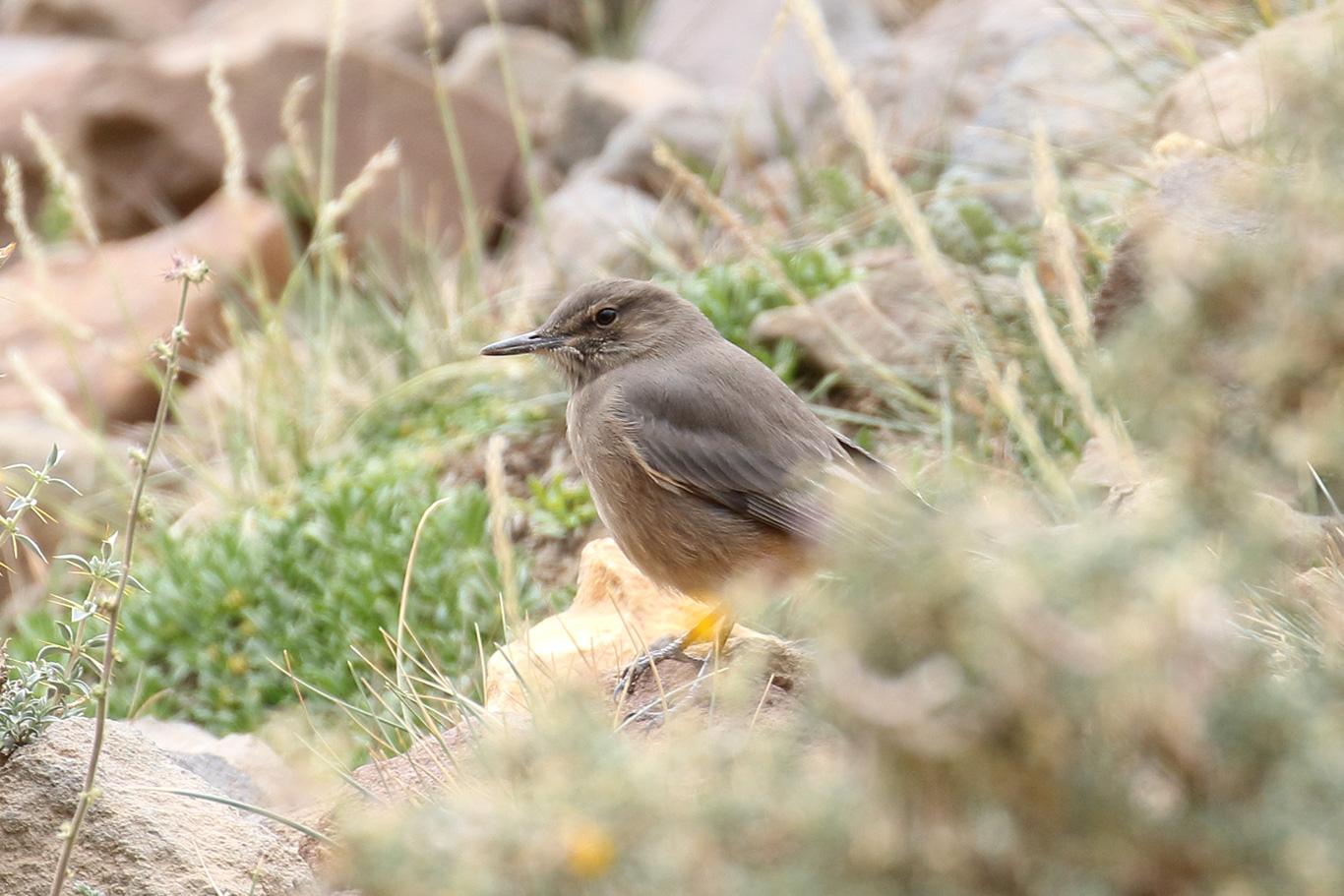Black-billed Shrike-Tyrant, Valle del Yeso, Chile.
