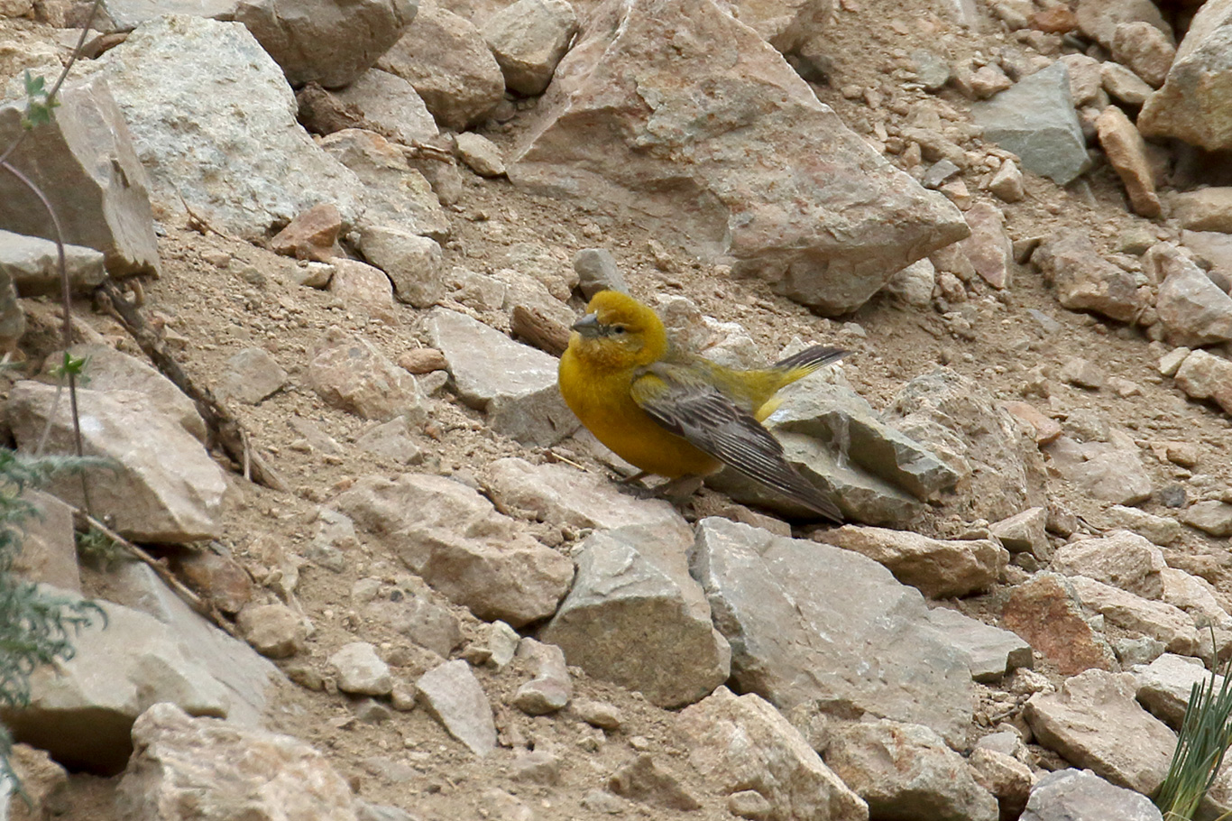 Greater Yellow Finch, Embalse El Yeso, Chile.