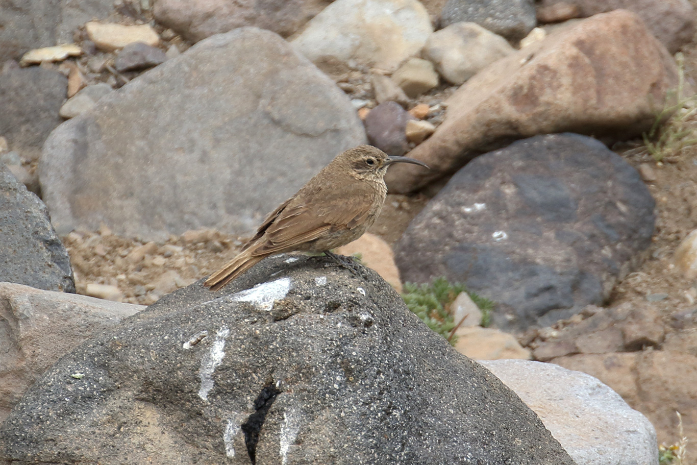 Scale-throated Earthcreeper, Valle del Yeso, Chile.