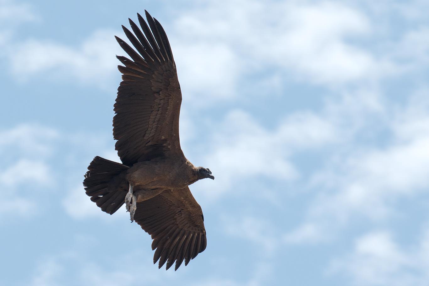 Andean Condor, Valle Nevado, Chile.