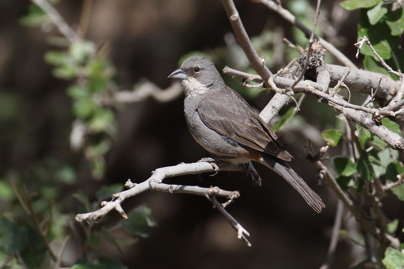 Common Diuca Finch, Camino a Farellones, Chile.