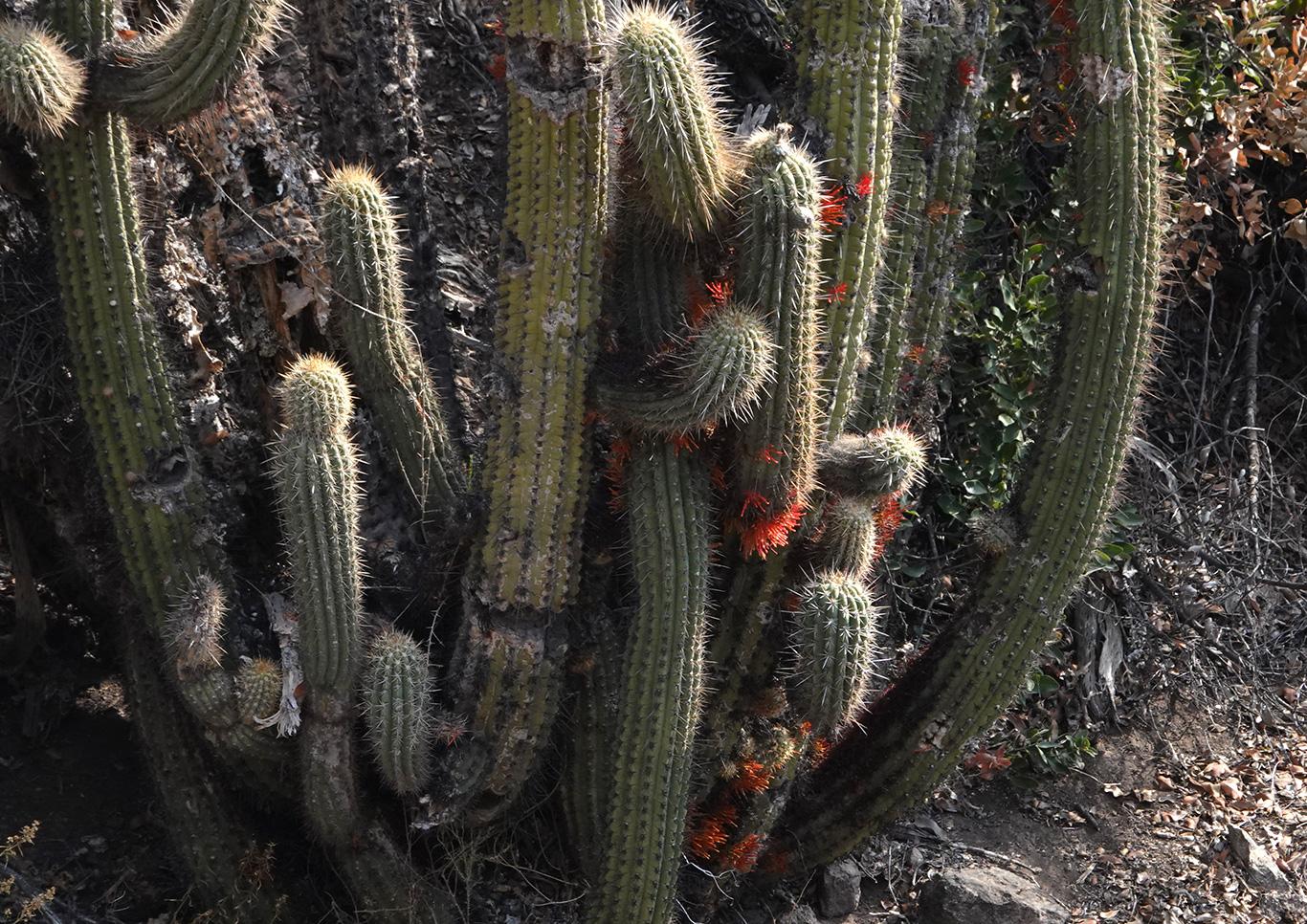 Flowering Cactus, Camino a Valle Nevado, Chile.