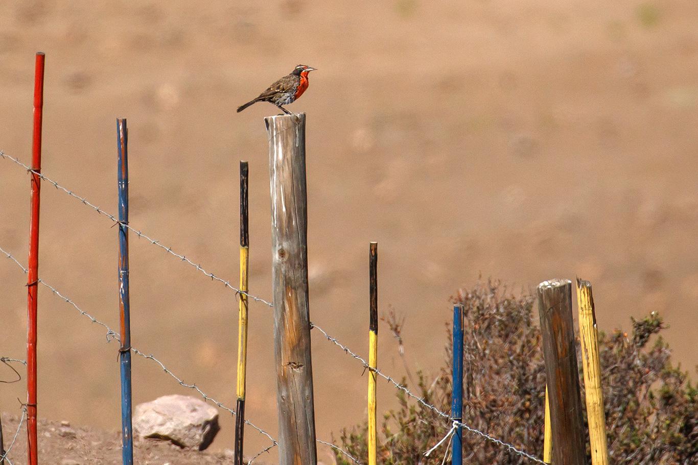 Long-tailed Meadowlark, Camino a Farellones, Chile.