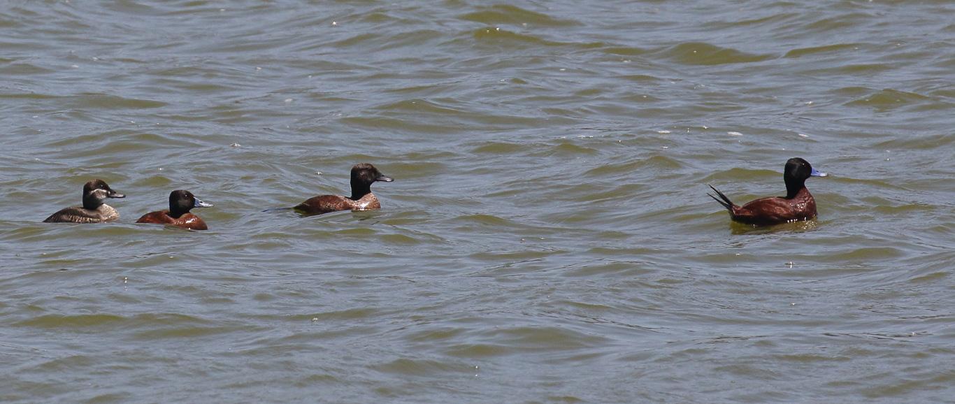 Lake Duck, Rio Aconcagua, Chile.