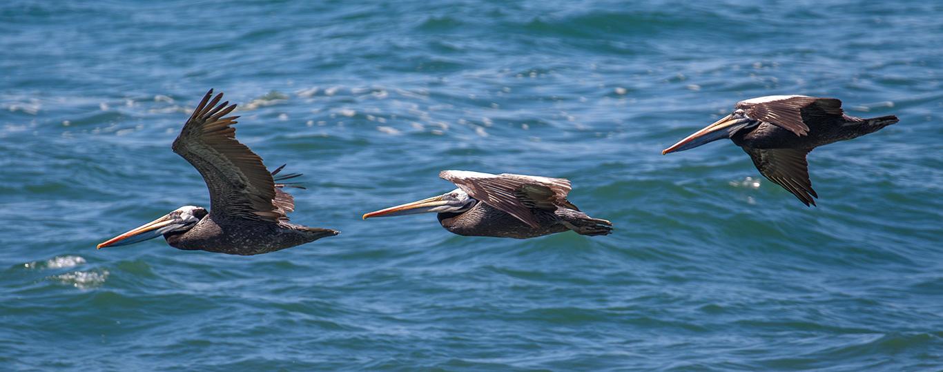 Peruvian Pelican, Concón, Chile.