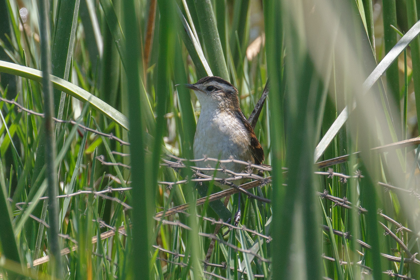 Wren-like Rushbird, Rio Aconcagua, Chile.