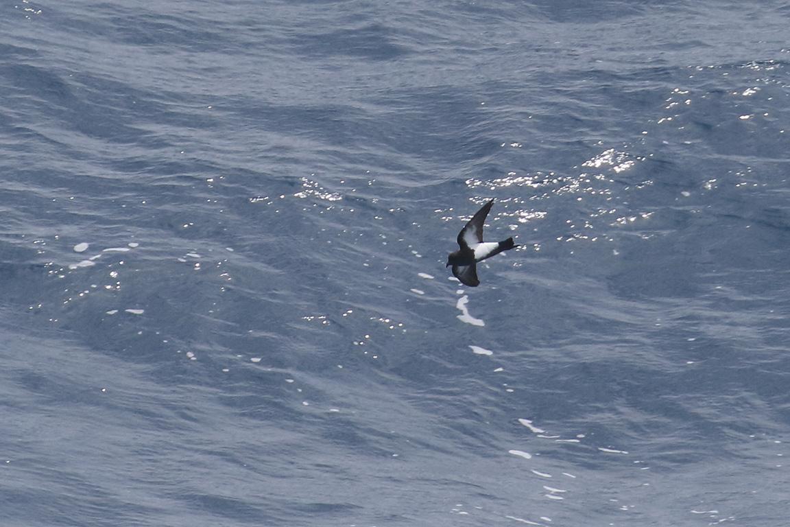 Black-bellied Storm-Petrel, At sea, c. 600km east of Argentina, north of The Falklands, South Atlantic Ocean.