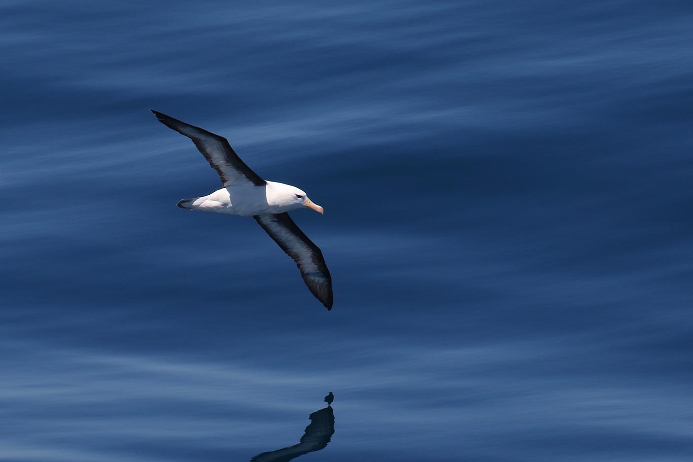 Black-browed Albatross, At sea, c. 600km east of Argentina, north of The Falklands, South Atlantic Ocean.