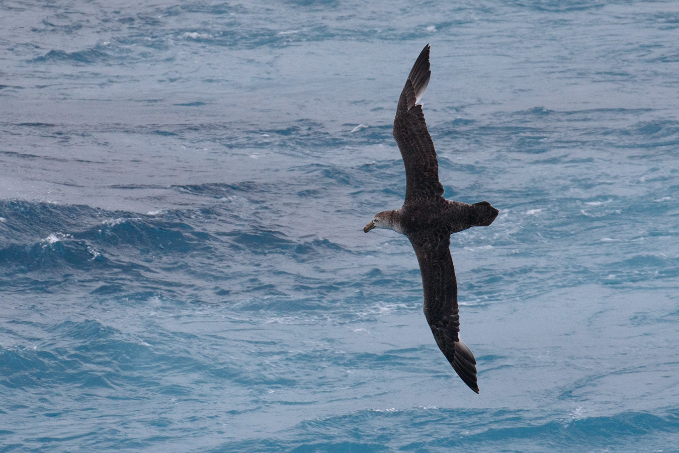 Northern Giant Petrel, At sea, c. 600km east of Argentina, north of The Falklands, South Atlantic Ocean.