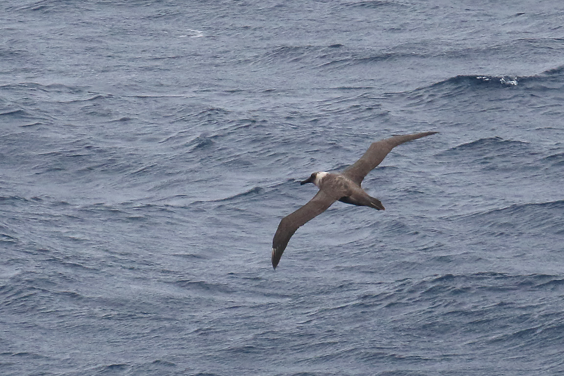 Sooty Albatross, At sea, c. 600km east of Argentina, north of The Falklands, South Atlantic Ocean.