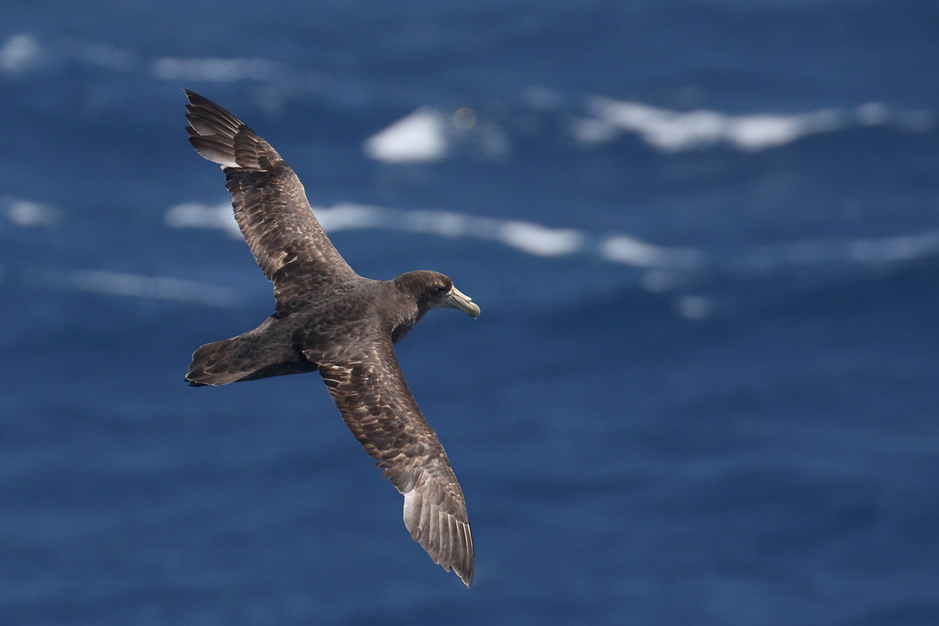 Southern Giant Petrel, At sea, c. 600km east of Argentina, north of The Falklands, South Atlantic Ocean.