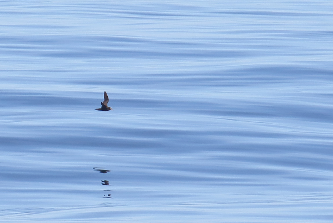 Spectacled Petrel, At sea, c. 600km east of Argentina, north of The Falklands, South Atlantic Ocean.