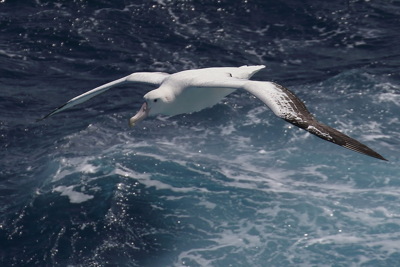 Wandering Albatross, At sea, c. 600km east of Argentina, north of The Falklands, South Atlantic Ocean.