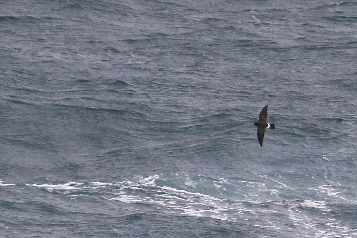 White-bellied Storm-Petrel, At sea, c. 600km east of Argentina, north of The Falklands, South Atlantic Ocean.