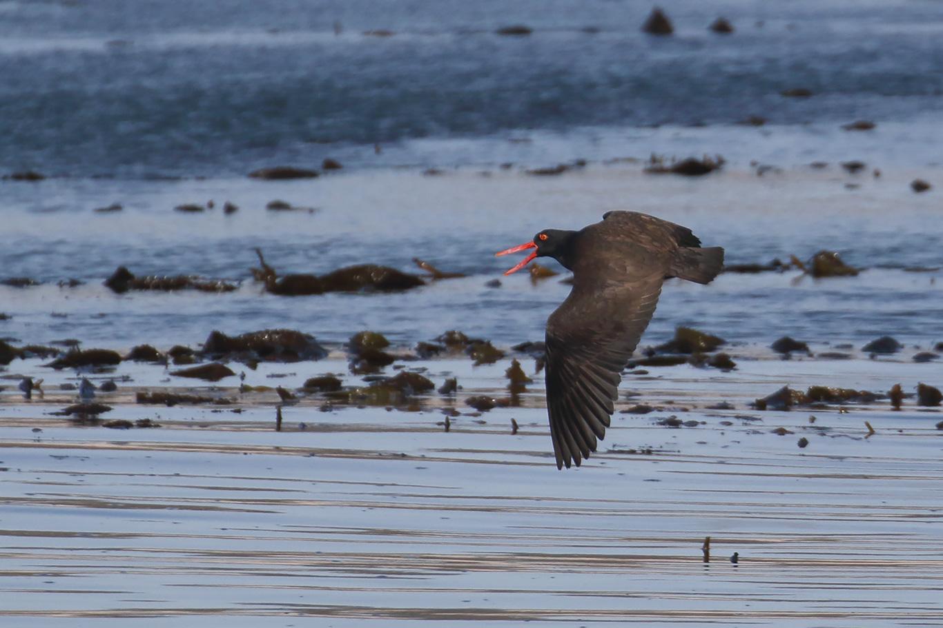 Blackish Oystercatcher, Kidney Island, Falkland Islands.