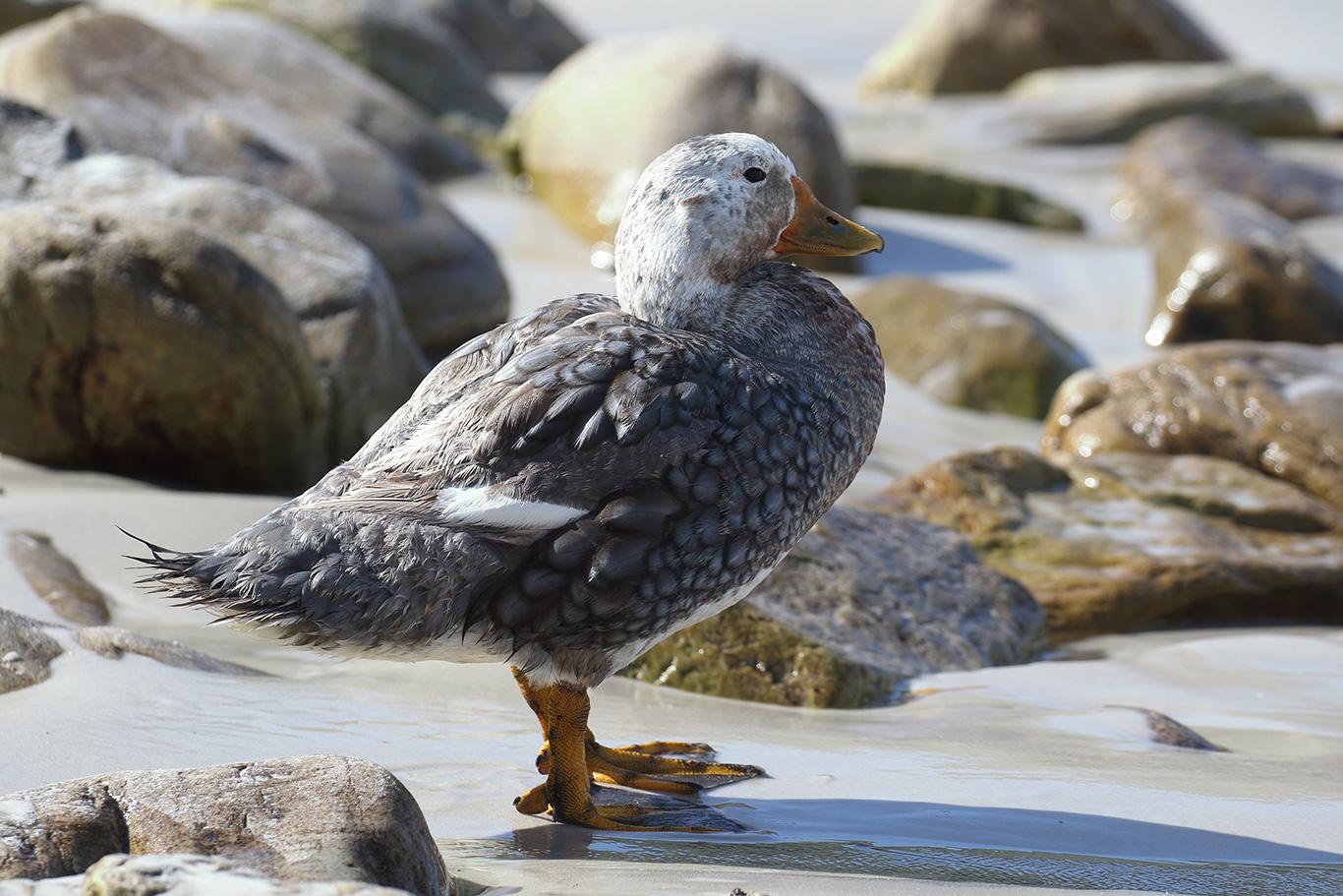 Falkland Steamer Duck, Kidney Island, Falkland Islands.