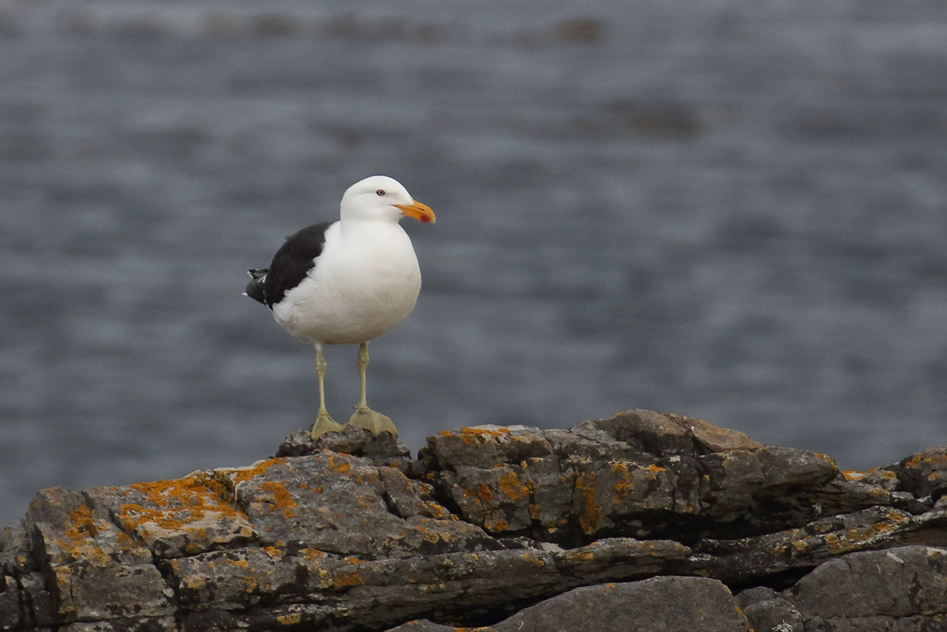 Kelp Gull, Phillips Point, Falkland Islands.