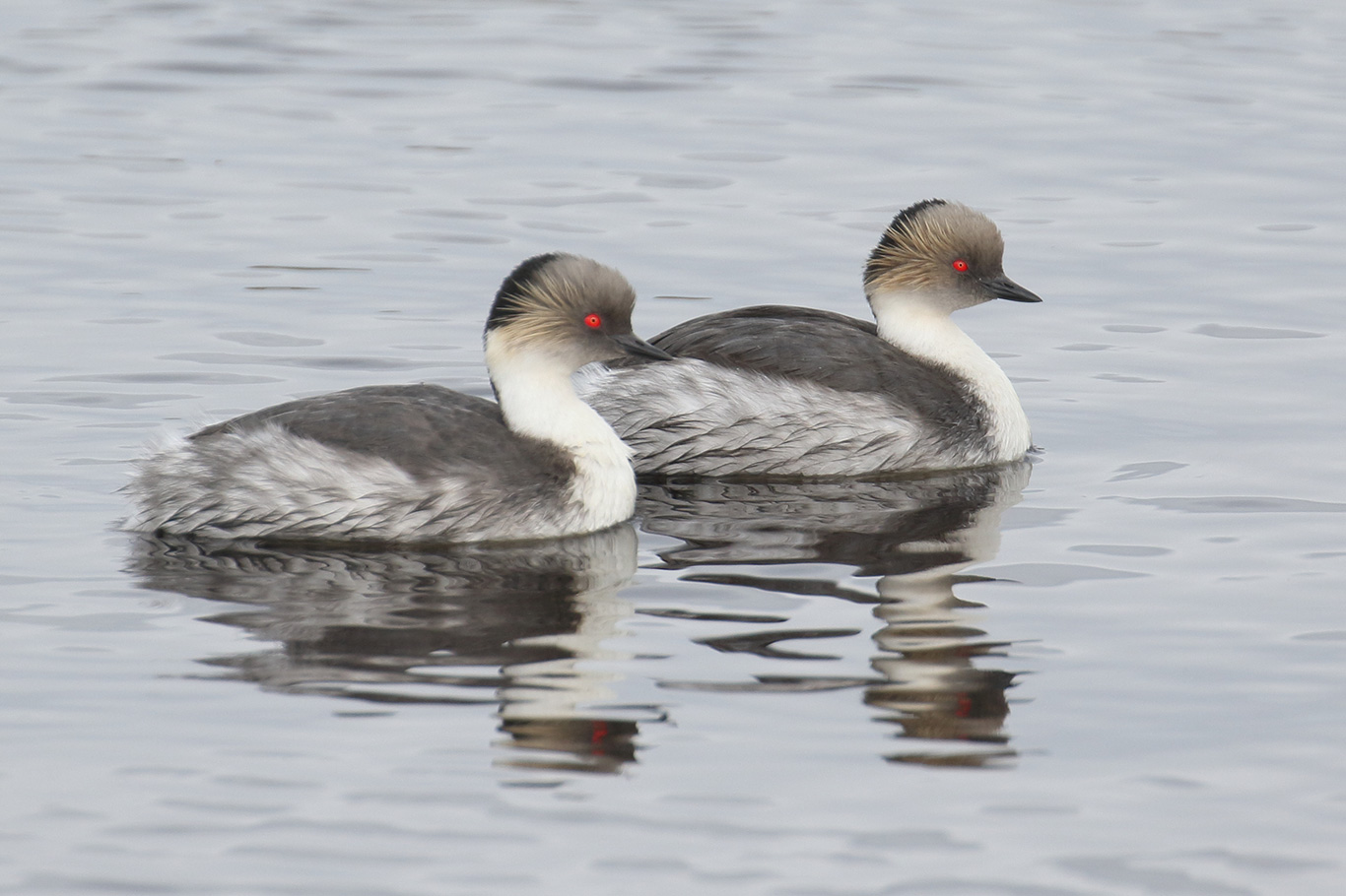 Silvery Grebe, Phillips Point, Falkland Islands.