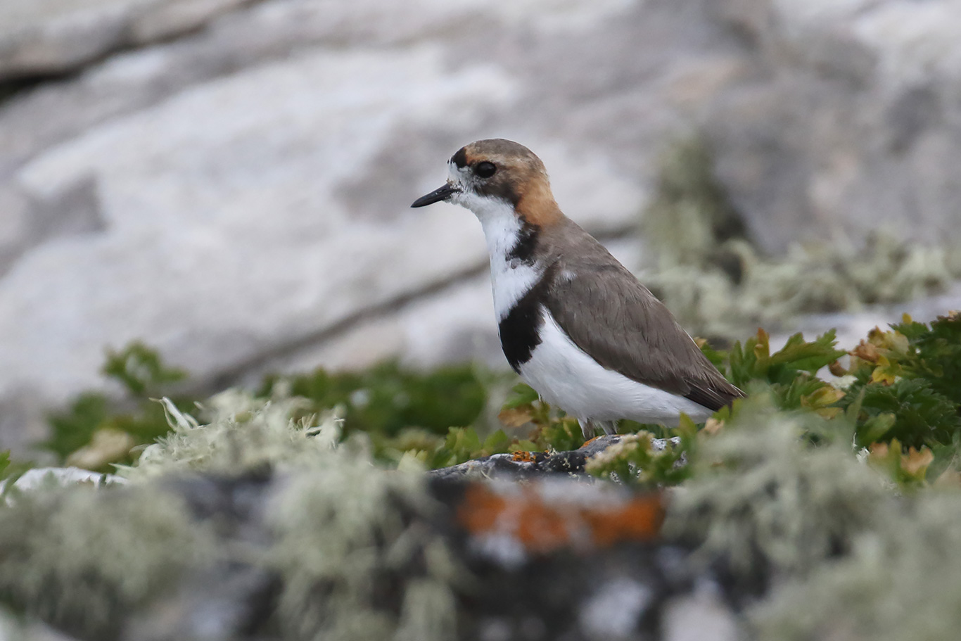Two-banded Plover, Phillips Point, Falkland Islands.