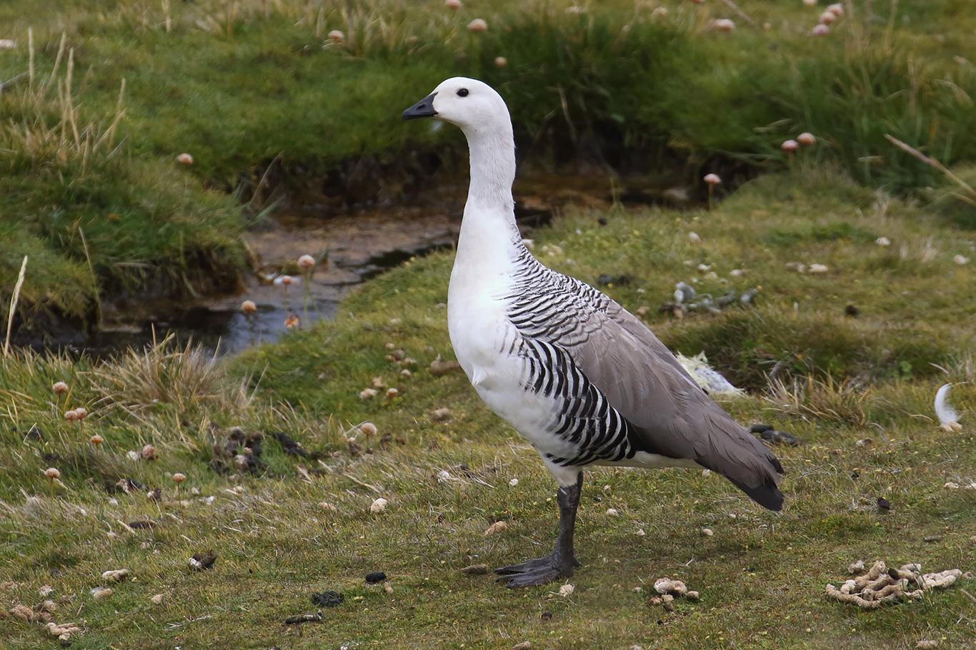 Upland Goose, Cape Pembroke, Falkland Islands.