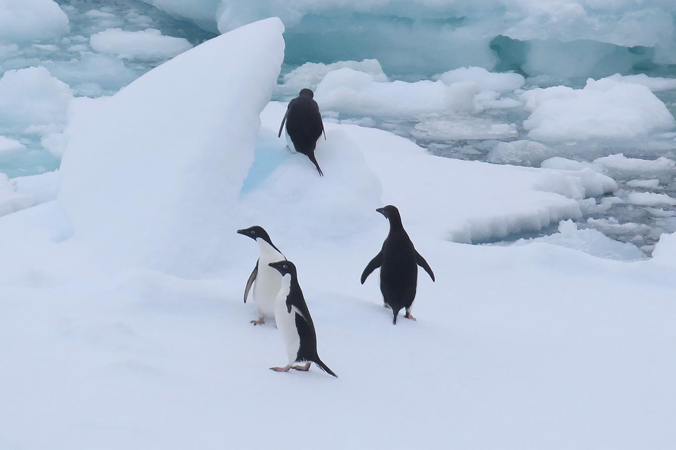 Adelie Penguin, Bransfield Strait, Antarctica.