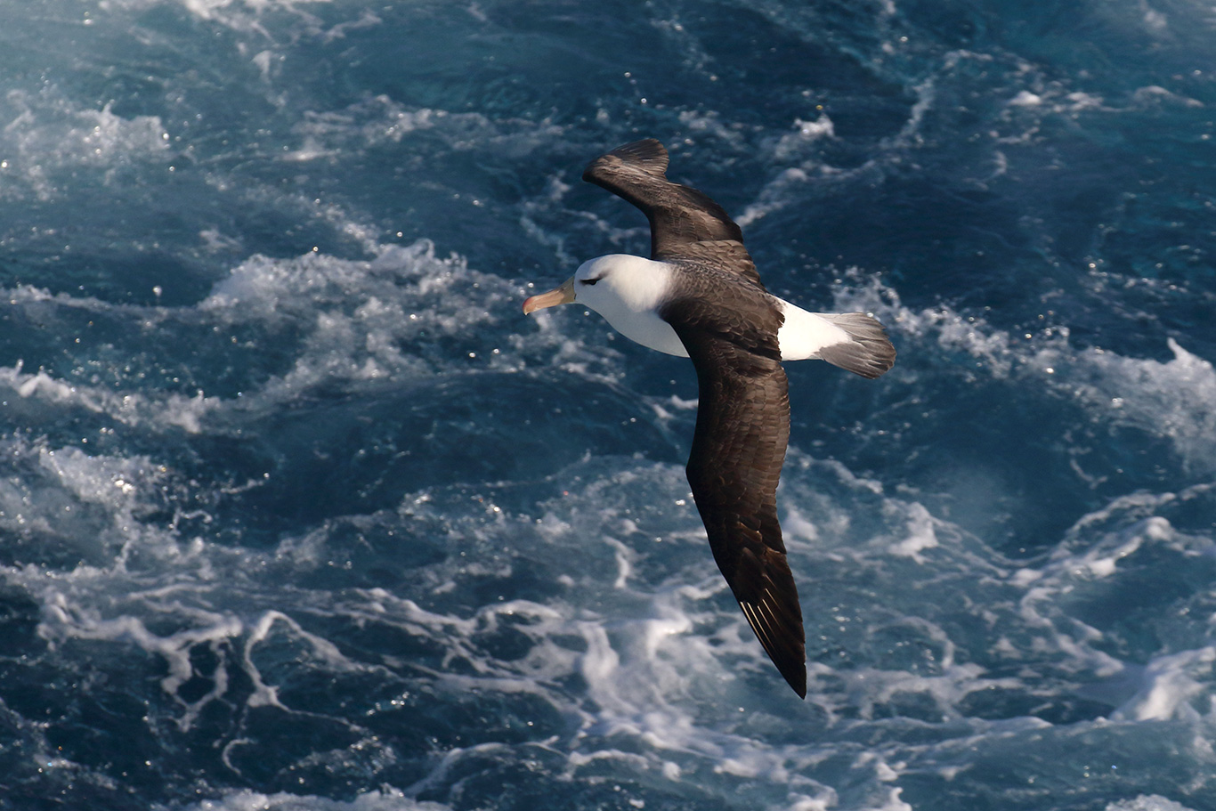 Black-browed Albatross, At sea, south of Falkland Islands and north of Antarctica, South Atlantic Ocean.