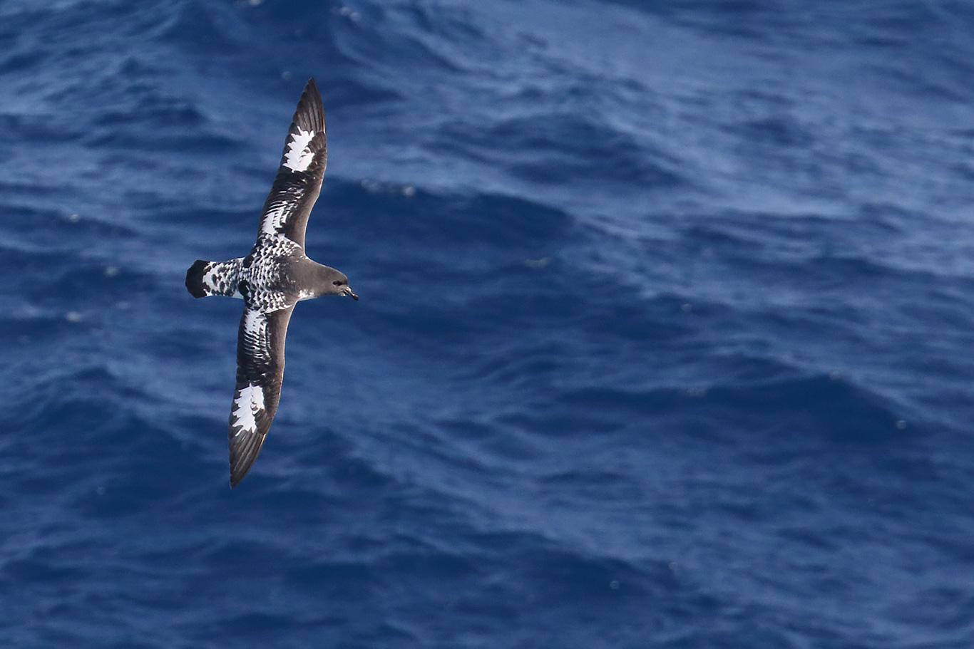 Cape Petrel, At sea, south of Falkland Islands and north of Antarctica, South Atlantic Ocean.