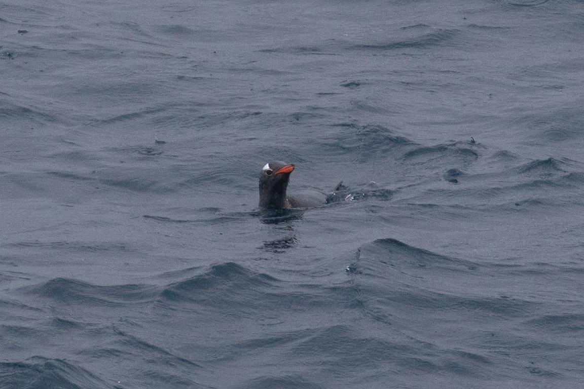 Gentoo Penguin, Bransfield Strait, Antarctica.